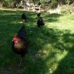 4 poules noires