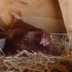 poule blog